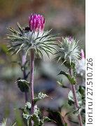 Купить «Thistle flower, close-up», фото № 27510726, снято 23 апреля 2019 г. (c) easy Fotostock / Фотобанк Лори