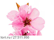 Купить «Isolated pink peach blossoms», фото № 27511950, снято 20 сентября 2019 г. (c) easy Fotostock / Фотобанк Лори