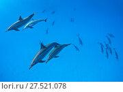 Купить «RF - Spinner dolphins (Stenella longirostris) pod swimming over a shallow sandy lagoon in a coral reef. Sataya Reef, Fury Shoal, Egypt. Red Sea», фото № 27521078, снято 25 сентября 2018 г. (c) Nature Picture Library / Фотобанк Лори