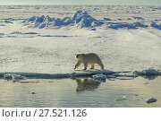 RF - Polar bear (Ursus arctos) walking on sea ice, Svalbard, Norway. (This image may be licensed either as rights managed or royalty free.) Стоковое фото, фотограф Andy Rouse / Nature Picture Library / Фотобанк Лори