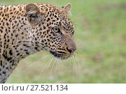 RF - African leopard (Panthera pardus) portrait, Maasai Mara, Kenya. (This image may be licensed either as rights managed or royalty free.) Стоковое фото, фотограф Andy Rouse / Nature Picture Library / Фотобанк Лори