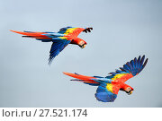 RF - Scarlet Macaws (Ara macao) in flight. Osa Peninsula (near Corcovado National Park), Costa Rica, Central America. (This image may be licensed either as rights managed or royalty free.) Стоковое фото, фотограф Nick Garbutt / Nature Picture Library / Фотобанк Лори