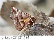 Купить «RF - Early thorn moth (Selenia dentaria) Catbrook, Monmouthshire, Wales, UK. March», фото № 27521194, снято 27 мая 2018 г. (c) Nature Picture Library / Фотобанк Лори