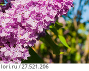 Купить «Lilac flowers, spring floral background of lilac flowers in blossom», фото № 27521206, снято 15 июня 2017 г. (c) Зезелина Марина / Фотобанк Лори