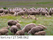 Sheep grazing on grass land. Стоковое фото, фотограф Gennadiy Iotkovskiy / Фотобанк Лори