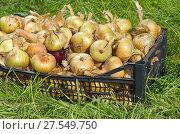 Купить «Урожай репчатого лука в ящике на траве», фото № 27549750, снято 21 августа 2017 г. (c) Елена Коромыслова / Фотобанк Лори