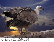 Griffon vulture against sunset. Стоковое фото, фотограф Яков Филимонов / Фотобанк Лори