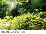 Купить «Foliage, old and ancient chestnut forest in the province of Zamora, Spain. Trees over 500 years», фото № 27560106, снято 23 сентября 2018 г. (c) easy Fotostock / Фотобанк Лори