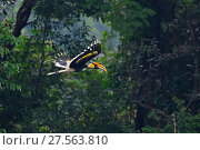 Купить «Great pied hornbill (Buceros bicornis) flying, Yingjiang County, Dehong Prefecture, Yunnan Province, China.», фото № 27563810, снято 23 июля 2019 г. (c) Nature Picture Library / Фотобанк Лори