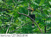 Купить «Great pied hornbill (Buceros bicornis) perched, Yingjiang County, Dehong Prefecture, Yunnan Province, China.», фото № 27563814, снято 23 июля 2019 г. (c) Nature Picture Library / Фотобанк Лори