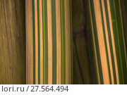 Купить «Bamboo stems (Bambusa vulgaris striata), Sichuan, China», фото № 27564494, снято 24 февраля 2018 г. (c) Nature Picture Library / Фотобанк Лори