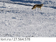 Купить «Tibetan wolf (Canis lupus) in snow, Keke Xili, Changtang, Tibetan Plateau, Qinghai, China», фото № 27564578, снято 21 марта 2019 г. (c) Nature Picture Library / Фотобанк Лори