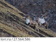 Argali, or Mountain sheep (Ovis ammon), Zhidua, Tibetan Plateau, Qinghai, China. Стоковое фото, фотограф Staffan Widstrand / Nature Picture Library / Фотобанк Лори