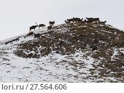 Купить «White-lipped or Thorold's deer (Cervus albirostris) herd on mountain, Yushu, Tibetan Plateau, Qinghai, China», фото № 27564606, снято 27 мая 2019 г. (c) Nature Picture Library / Фотобанк Лори