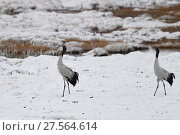 Купить «Black-necked cranes (Grus nigricollis) displaying, Long Bao YTa Lake Nature Eeserve, Tibetan Plateau, Qinghai, China», фото № 27564614, снято 26 апреля 2019 г. (c) Nature Picture Library / Фотобанк Лори