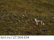 Купить «Tibetan sand fox (Vulpes ferrilata), Valley near Yushu, Tibetan Plateau, Qinghai, China», фото № 27564634, снято 18 апреля 2019 г. (c) Nature Picture Library / Фотобанк Лори