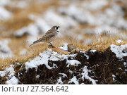 Купить «Tibetan Horned Lark (Eremophila elwesi) Tibetan Plateau, Qinghai, China», фото № 27564642, снято 25 марта 2019 г. (c) Nature Picture Library / Фотобанк Лори