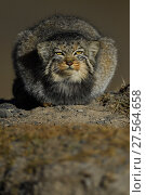 Pallas's cat (Otocolobus manul)  resting, Tibetan Plateau, Qinghai, China. Стоковое фото, фотограф Staffan Widstrand / Nature Picture Library / Фотобанк Лори