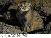Pallas's cat (Otocolobus manul) Tibetan Plateau, Qinghai, China. Стоковое фото, фотограф Staffan Widstrand / Nature Picture Library / Фотобанк Лори