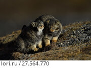 Pallas's cat (Otocolobus manul) two cats interacting, Tibetan Plateau, Qinghai, China. Стоковое фото, фотограф Staffan Widstrand / Nature Picture Library / Фотобанк Лори