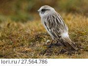 Купить «White-rumped snowfinch (Montifringilla taczanowskii) , Tibetan Plateau, Qinghai, China», фото № 27564786, снято 18 апреля 2019 г. (c) Nature Picture Library / Фотобанк Лори
