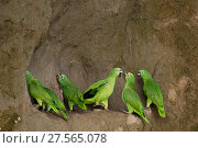 Купить «A flock of Mealy Amazon Parrot (Amazona farinosa) eating clay. Yasuni National Park, Orellana, Ecuador.», фото № 27565078, снято 18 октября 2019 г. (c) Nature Picture Library / Фотобанк Лори