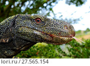 Купить «Crocodile monitor (Varanus salvadorii) portrait, captive, occurs in New Guinea.», фото № 27565154, снято 20 августа 2018 г. (c) Nature Picture Library / Фотобанк Лори