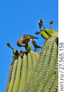 Купить «Gila Woodpecker (Melanerpes uropygialis) eating Saguaro fruit (Carnegiea gigantea) Arizona, USA, June.», фото № 27565158, снято 19 августа 2018 г. (c) Nature Picture Library / Фотобанк Лори