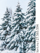 Купить «Заснеженные голубые ели (Picea pungens) после снегопада в Москве», фото № 27565594, снято 6 февраля 2018 г. (c) Алёшина Оксана / Фотобанк Лори