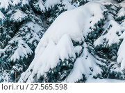 Заснеженная лапа голубой ели (Picea pungens) зимой покрытые толстым слоем снега. Стоковое фото, фотограф Алёшина Оксана / Фотобанк Лори