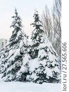 Заснеженные голубые ели (Picea pungens) после снегопада в Москве (2018 год). Стоковое фото, фотограф Алёшина Оксана / Фотобанк Лори