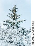 Купить «Заснеженная голубая ель (Picea pungens) и кустарник боярышника после снегопада», фото № 27565618, снято 6 февраля 2018 г. (c) Алёшина Оксана / Фотобанк Лори
