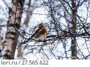 Купить «Дрозд рябинник (Turdus pilaris), сидящий на ветке боярышника», фото № 27565622, снято 6 февраля 2018 г. (c) Алёшина Оксана / Фотобанк Лори