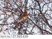 Купить «Дрозд рябинник (Turdus pilaris) зимой», фото № 27565630, снято 6 февраля 2018 г. (c) Алёшина Оксана / Фотобанк Лори