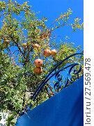 Tunisia, pomegranates at the blue gate. Стоковое фото, фотограф Zoonar/G.Sitnik-Schm / easy Fotostock / Фотобанк Лори