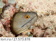 Купить «Yellowmargin moray (Gymnothorax flavimarginatus) peering out of hole, Tubbataha Reef Natural Park, UNESCO World Heritage Site,  Sulu Sea, Cagayancillo, Palawan, Philippines», фото № 27573878, снято 15 июля 2020 г. (c) Nature Picture Library / Фотобанк Лори