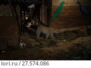 Купить «Leopard (Panthera pardus fusca) walking in alley between houses. Aarey Milk Colony in unofficial buffer zone of Sanjay Gandhi National Park, Mumbai, India. April 2016.», фото № 27574086, снято 19 февраля 2018 г. (c) Nature Picture Library / Фотобанк Лори