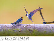 Купить «Barn swallow (Hirundo rustica) feeding fledgling, Monmouthshire,  Wales, UK, July.», фото № 27574190, снято 16 августа 2018 г. (c) Nature Picture Library / Фотобанк Лори