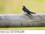 Купить «Barn swallow (Hirundo rustica), fledgling,  Monmouthshire, Wales, UK, July.», фото № 27574234, снято 16 августа 2018 г. (c) Nature Picture Library / Фотобанк Лори