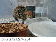 Купить «Hedgehog (Erinaceus europaeus) leaving a home-made hedgehog feeder box with a narrow entrance, designed to exclude cats and foxes, after feeding on meat...», фото № 27574254, снято 21 июля 2018 г. (c) Nature Picture Library / Фотобанк Лори