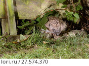 Купить «Hedgehog (Erinaceus europaeus) entering a suburban garden from the next door garden by squeezing through a gap in the fence at night, Chippenham, Wiltshire...», фото № 27574370, снято 21 июля 2018 г. (c) Nature Picture Library / Фотобанк Лори