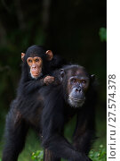 Eastern chimpanzee (Pan troglodytes schweinfurtheii) female 'Gaia' aged 20 years carrying her son 'Google' aged 4 years on her back . Gombe National Park, Tanzania. Стоковое фото, фотограф Anup Shah / Nature Picture Library / Фотобанк Лори
