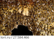 Купить «Honey bee (Apis mellifera) workers in hive with three white queen cells, Kiel, Germany, June.», фото № 27584466, снято 23 мая 2018 г. (c) Nature Picture Library / Фотобанк Лори