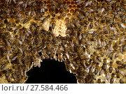 Купить «Honey bee (Apis mellifera) workers in hive with three white queen cells, Kiel, Germany, June.», фото № 27584466, снято 18 августа 2018 г. (c) Nature Picture Library / Фотобанк Лори