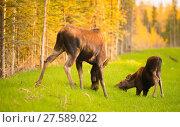 Купить «Wild Moose Cow Calf Animal Wildlife Marsh Alaska Greenbelt», фото № 27589022, снято 27 февраля 2020 г. (c) PantherMedia / Фотобанк Лори