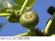 Купить «Fig tree bearing fruits», фото № 27590054, снято 24 апреля 2018 г. (c) PantherMedia / Фотобанк Лори