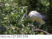 Купить «ibis», фото № 27591518, снято 20 марта 2019 г. (c) PantherMedia / Фотобанк Лори