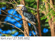 Купить «Portrait of Oriental pied hornbill», фото № 27595602, снято 22 марта 2019 г. (c) PantherMedia / Фотобанк Лори