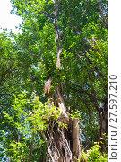 Купить «Branches of banyan tree», фото № 27597210, снято 22 июня 2018 г. (c) PantherMedia / Фотобанк Лори