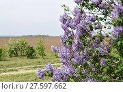 Купить «The Lilac flowers», фото № 27597662, снято 23 мая 2018 г. (c) PantherMedia / Фотобанк Лори